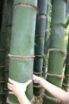 ствол бамбука