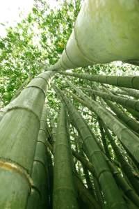 Bambusrohre, Bambuswald